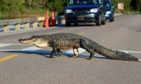 Hungry Alligators Are Invading Florida Homes and Streets in Search of Food and Mates