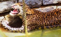 Wild Leopard Rescued From Well In Brave, Courageous Act