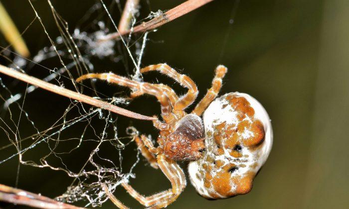 A bolas spider (Pixabay)