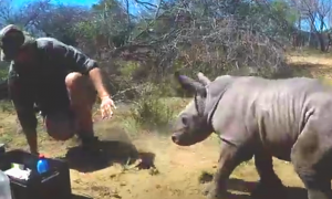 Fearless, Adorable Baby Rhino Tries to Protect Injured Mom