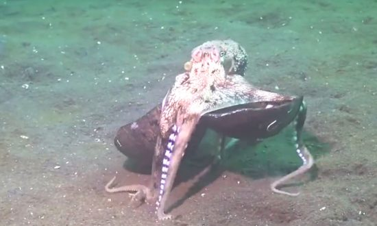 Video: bizarre things this octopus does with coconut shells make scientists drown in laughter