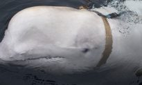 Beluga Whale Found With Russian Harness Alarms Norwegian Military