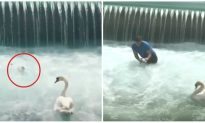 Man Tries to Save Baby Swan From Water Vortex, but Mom Swan Attacks