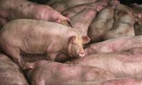 Chinese Detained After Suggesting Dead Pigs in Video Died From African Swine Fever