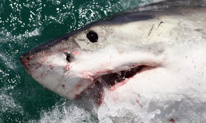 A file photo of a great white shark in Gansbaai, South Africa, on Oct. 19, 2009. (Dan Kitwood/Getty Images)