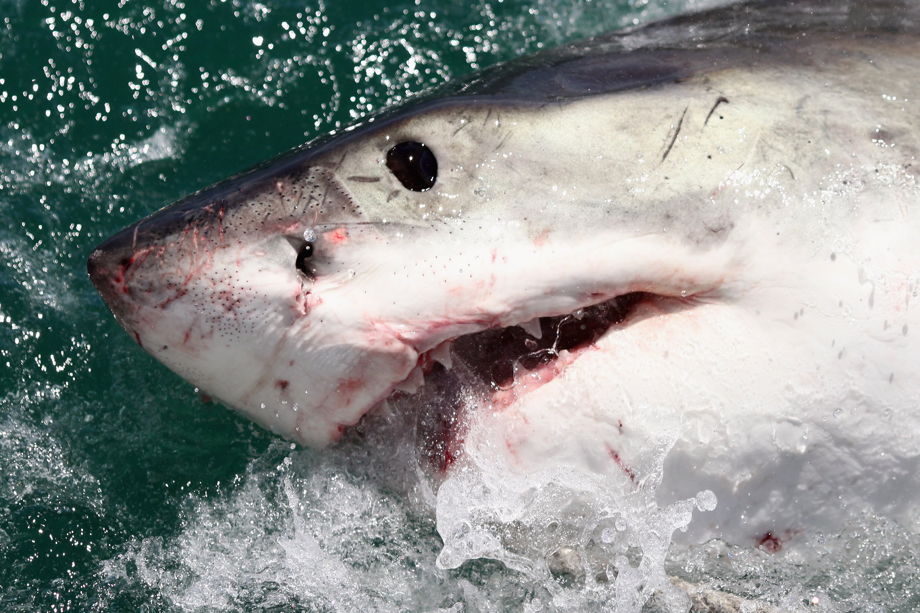 Shark Bites Kayak Leaving Teeth Behind in Terrifying Attack Off California