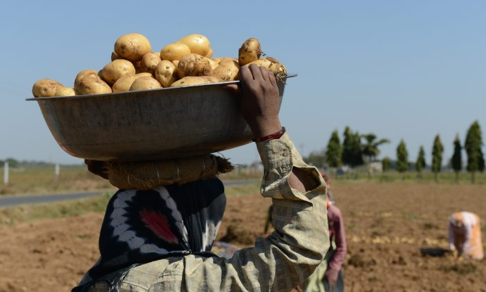 An Indian farmer harvests potatoes at a field at Nadol village of Dehgam Taluka, India, on Feb. 27, 2013. (Sam Panthaky/AFP/Getty Images)