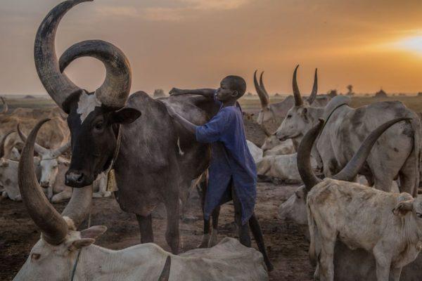 boy tending to cattle