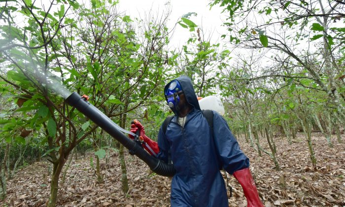 An employee sprays pesticides on a cocoa plantation in Tiassale, in the south-eastern part of Ivory Coast where caterpillars eat
