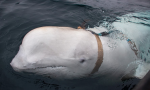 Beluga Whale Allegedly From a Russian Military Facility Appears in Norway and Refuses to Leave