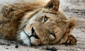 2 Lions Maul 24-Year-Old in Zoo, Man Heroically Jumps In to Save Him