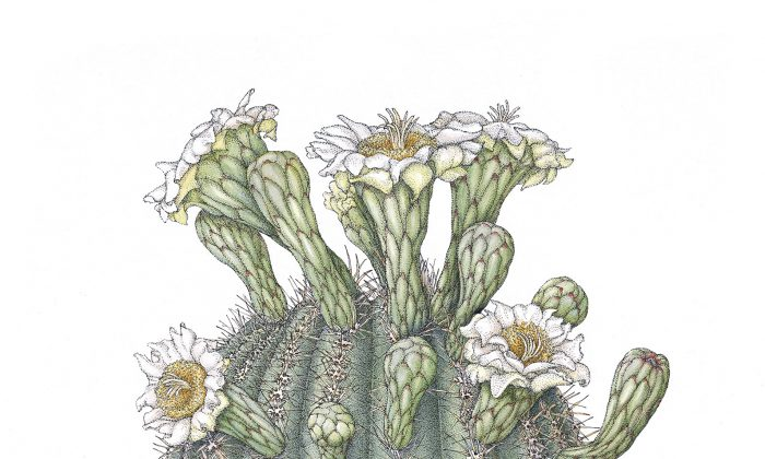 """""""Saguaro (Carnegiea gigantea),"""" by Joan McGann. Ink and watercolor on paper,18 inches by 12 inches. (Joan McGann)"""