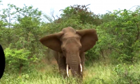 Aussie Tourists Encounter Terrifying Elephant Stampede in Kruger National Park