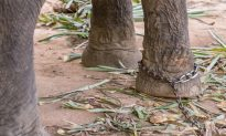 Baby Elephant Collapses With Exhaustion While Chained to Mom Giving Rides to Tourists