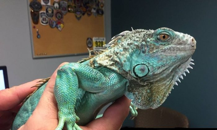 """Copper"" the iguana was swung around by his tail by a man taken into custody by police in Painesville, Ohio on April 16, 2019. (Painesville Police Department)"