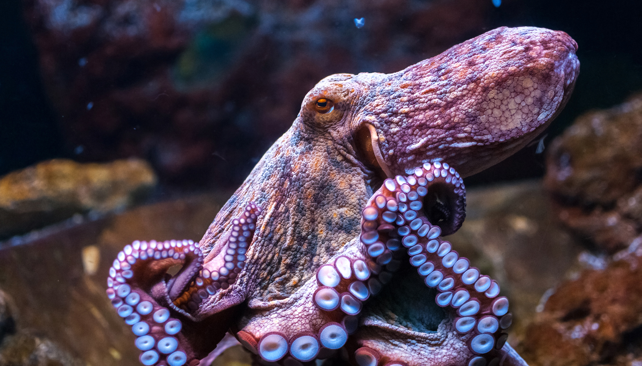 Video: Stealthy Octopus Leaps Out of Tidepool, Ambushes, Eats Crab, Amateur Footage Shows