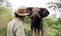 Man Has Incredible Encounter With Wild Bull Elephant