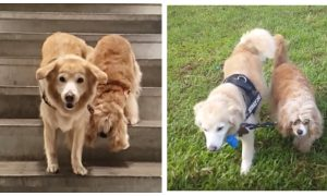 Blind Dog Has Adorable Golden Retriever as Seeing-Eye Guide