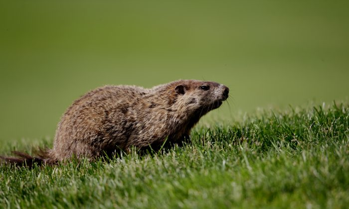 A groundhog, a member of the marmot family, in Ardmore, Penn., on June 14, 2013. (Ross Kinnaird/Getty Images)