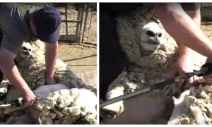 Video: How to Shear a Sheep