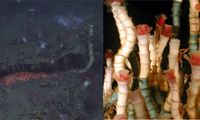 Images of tubeworms. (L-DEEP SEARCH 2019 and R-Charles Fisher/Wikimedia Commons [CC BY 2.5 (https://creativecommons.org/licenses/by/2.5/deed.en)])