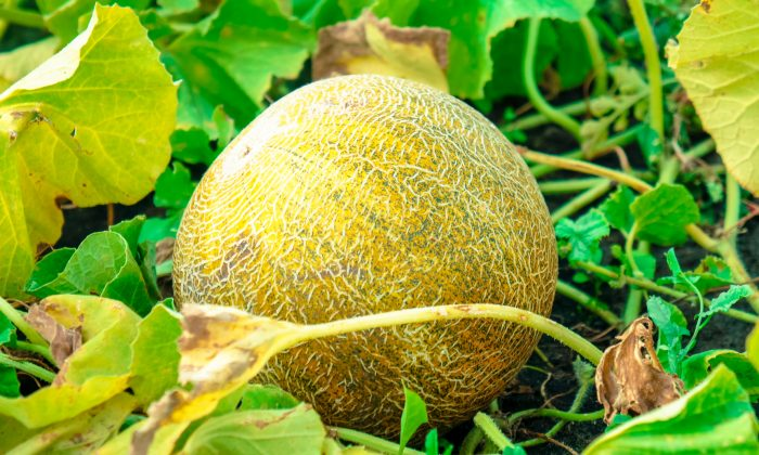 The younger brother vowed to work hard in the field in order to truly earn his melon when the time comes. (Eva Kann/Shutterstock)