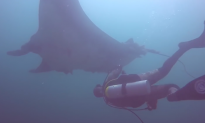 Video: Mobula Rays Jump From the Water in the Gulf of California