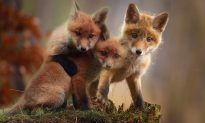 Farmer Does C-Section on Dead Fox by the Road, Saves 4 Cubs
