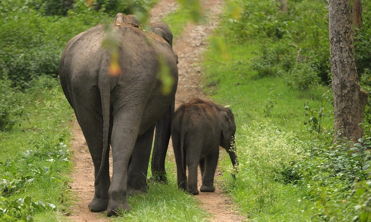 Emaciated elephant forced to perform for festivalgoers in Sri Lanka