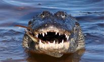 Alligators Seen Dragging Body in Florida Lake, Say Police