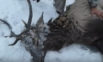 Video: Heartwarming Rescue of Red Deer From Frozen Siberian River