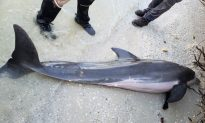 2-Foot Shower Hose Found in Dead Dolphin's Stomach, Say Officials