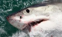 800-Pound Great White Shark 'Pings' Off Coast of New Jersey