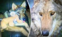 Boy Takes Home Abandoned 'Puppy'–Then He Finds Out It's Actually a HUGE Wolf