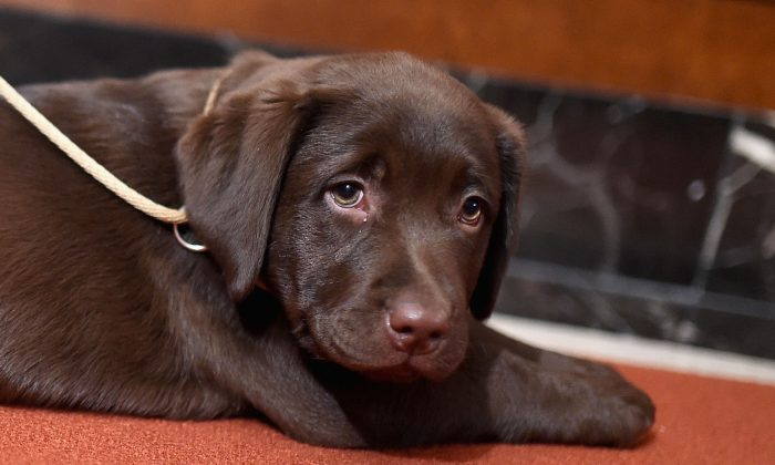 A Labrador retriever at the American Kennel Club's Nation's Most Popular Breeds Of 2015 competition at AKC Headquarters in New York, on Feb. 22, 2016. (Jamie McCarthy/Getty Images)