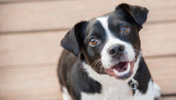 Jack russell terrier puppy (Shutterstock)