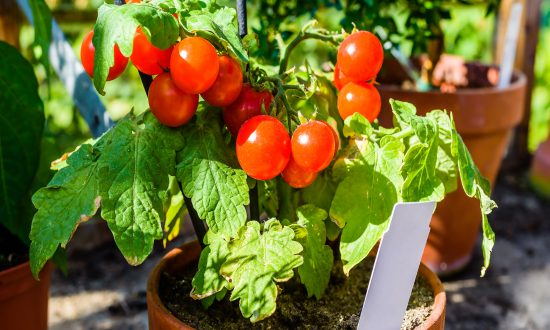 The Simplest Trick to Grow Your Own Tomatoes With Just 3 Things