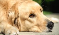 Golden Retriever 'Cries' at Night Awaiting Her Owner Who Won't Be Coming Back