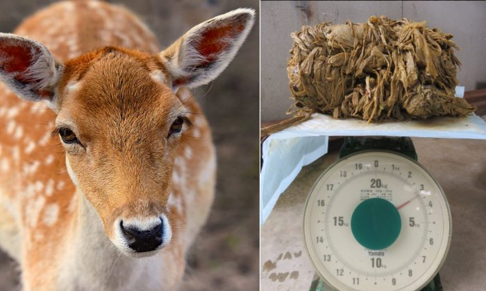 Stock image of a deer. (Mabel Amber/Pixabay) Image of the plastic taken out of the body of a 17-year-old female deer that died at Nara Park in Japan on March 24. (Nara Welfare Deer Association)