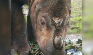 Malaysia Mourns After Last Male Sumatran Rhino Dies
