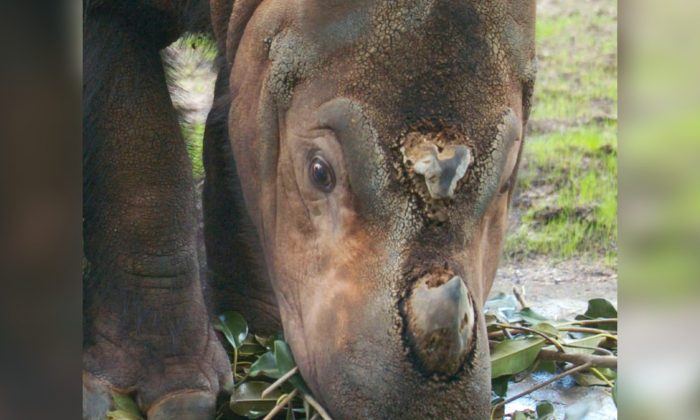A Sumatran rhinoceros in Cincinnati Zoo and Botanical Garden in Ohio on Aug. 19, 2004. (Mike Simons/Getty Images)