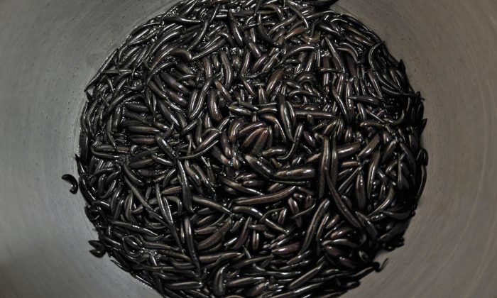 Leeches squirm in a dish at the International Medical Leech Centre in Udelnaya, Russia, on Oct. 28, 2009. (Natalia Kolesnikova/AFP/Getty Images)