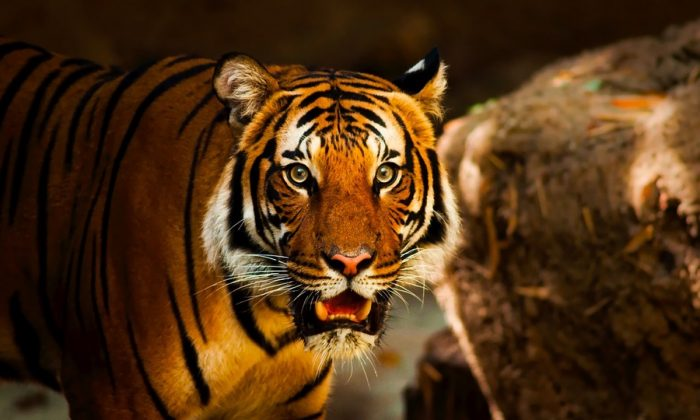 Stock image of a tiger. (Pixabay)