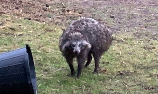 Police Issue Warning About Raccoon Dogs on the Loose in English Village