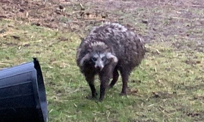 Residents are advised to be vigilant after two Raccoon dogs escape in Clarborough (Nottinghamshire Police)