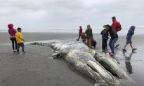 'Unusual Mortality Event' Declared as Grey Whales Appear on West Coast Beaches