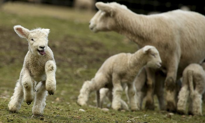 File photo showing a lamb jumping around in a pasture at Scandia Creek Farm in Poulsbo, Wash., on March 8, 2017. (Meegan M. Reid/Kitsap Sun via AP)