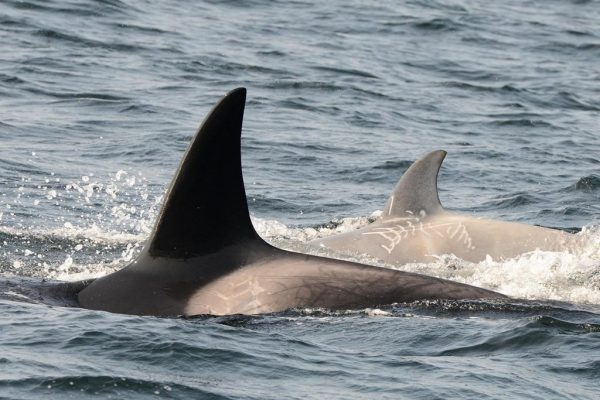 A rare white killer whale, shown in a handout photo, has been spotted off the coast of British Columbia. (HO-Department of Fisheries and Oceans-Miguel Neves Dos Reis/The Canadian Press)