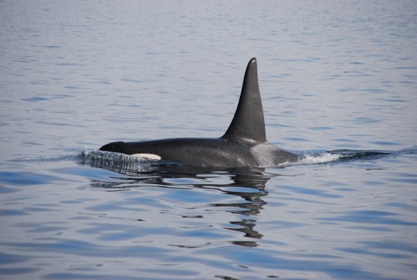 A killer whale (Pixabay)