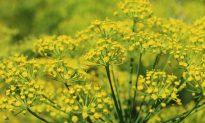 Secret Ingredient: Fennel Pollen, Culinary Fairy Dust From a Flower